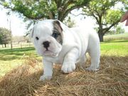 cute and adorable english bulldog for free adoption