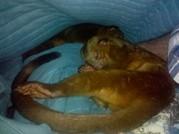 Kinkajou Pair Pregnant!